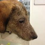 Tysson, con demodicosis canina juvenil