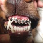 Brackerts en perros. Odontología de máximo nivel ....